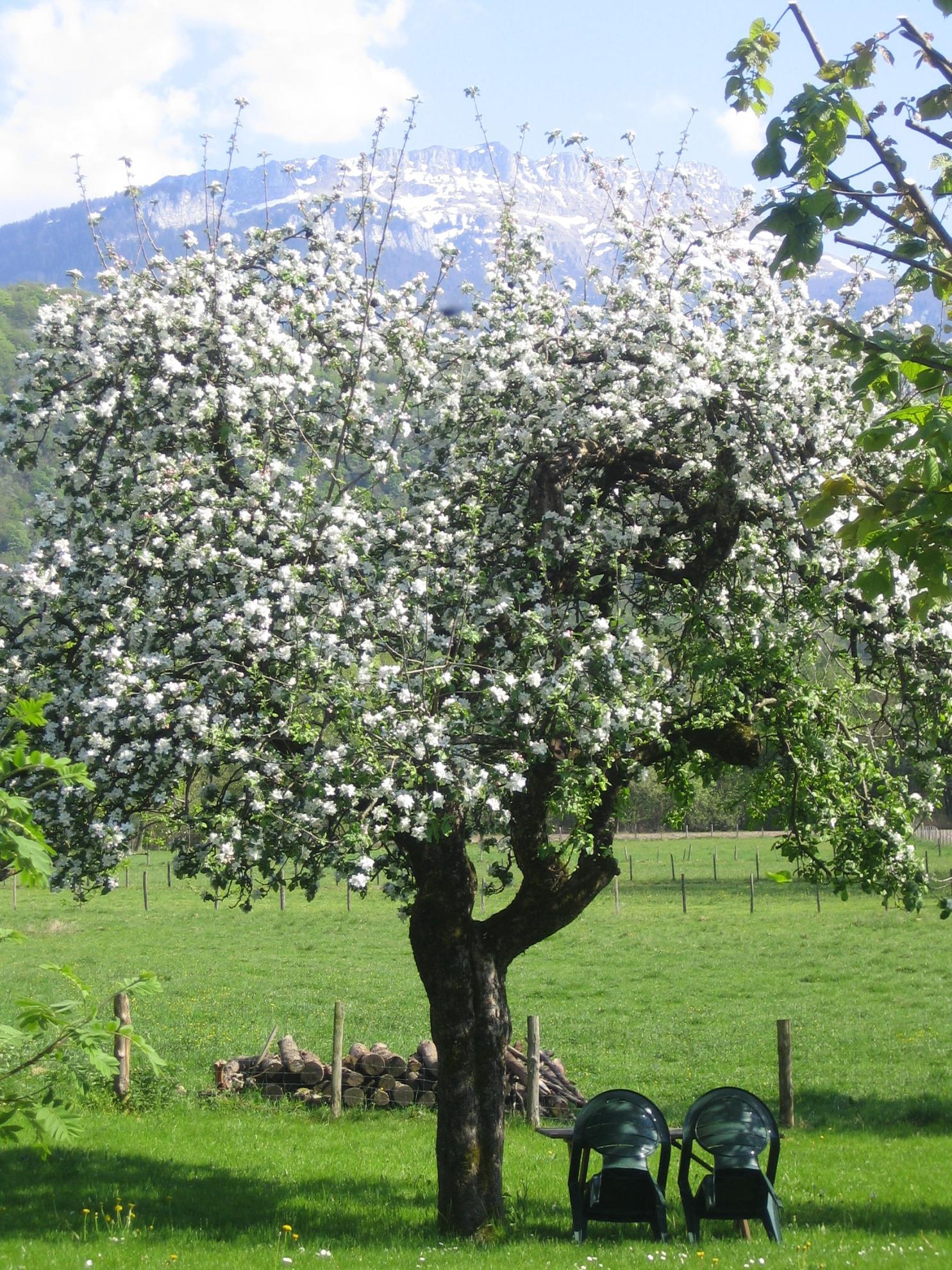 Vieux pommier en fleurs - Au Pré Chardon